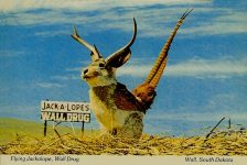 "Flying Jackalope One of the world's rarest and most unusual animals… The Flying Jackalope is most frequently found in South Dakota's Badlands near Wall. It is extremely shy and capable of blinding speed to escape detection. Because of its evasive nature it has not been considered one of the ""endangered species"" despite its rarity. This prize photo was taken with a telephoto lens a short way east of Wall. Wall Drug Custom Print Plastichrome Boston, MA 6″x4″"