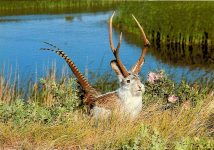 The Western Jackalope This is an exceptional photo, as it not only shows the Western Jackalope in its natural habitat, a rare treat in itself, but it is picture of the almost non-existent hybrid, the Jackalopesis Pheasantarus, a creature peculiar to the Western United States and derived from mysterious hetergenous sources. Wall Drug Store Elite Prints Ireland 6″x4″