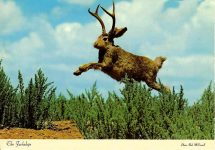 The Jackalope Photo by Bob McConnel The Jackalope, especially famous in Wyoming and Colorado, is an oddity of the great western states and a fine example of western humor. Sanborn Souvenir Co Denver, Colorado 6″x4″ Postmarked: May 24, 1980