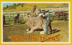 """Only In Texas"" Saddling up Big Jack. It is not unusual to break these big fellows and use them for ranch work here in Texas. Mike Roberts Color Productions Emeryville, CA 5.5″x3.5″ C33343"