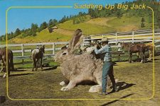 SADDLING UP BIG JACK It is not unusual to break these big fellows and use them for ranch work. ROYAL Mini Print Mike Roberts Color Productions Oakland, CA 6″x4″
