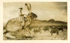 Punching Cattle on a Jack Rabbit in the South West 51, 5.5″x3.5″, RPPC (Real Photo Post Card)