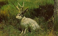 The Fabulous JACKALOPE of North America Jackalopes are the rarest animals in North America. A cross between a now extinct small deer and a species of rabbit, they are extremely shy and wild. They possess the ability to mimic and their cries often sound human and tuneful. Probably from hearing cowboy songs on the lonely nite watch. None have ever been captured alive and this is a rare photo taken at their feeding grounds in the high country. Noble Post Cards Colorado Springs, Colo 5.5″x3.5″