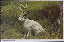 The Fabulous JACKALOPE of North America Jackalopes are the rarest animals in North America. A cross between a now extinct small deer and a species of rabbit, they are extremely shy and wild. They possess the ability to mimic And their cries often sound human and tuneful. Probably from hearing cowboy songs on the lonely nite watch. None have ever been captured alive and this is a rare photo taken at their feeding grounds in the high country. The Continental card Mike Roberts Berkley 6″x4″