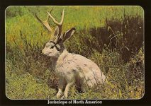 The Fabulous JACKALOPE of North America Jackalopes are the rarest animals in North America. A cross between a now extinct small deer and a species of rabbit, they are extremely shy and wild. They possess the ability to mimic and their cries often sound human and tuneful. Probably from hearing cowboy songs on the lonely nite watch. None have ever been captured alive and this is a rare photo taken at their feeding grounds in the high country. Royal Mini Print Mike Roberts Color Productions Oakland 6″x4″