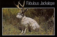 The Fabulous JACKALOPE of North America Jackalopes are the rarest animals in North America. A cross between a now extinct small deer and a species of rabbit, they are extremely shy and wild. They possess the ability to mimic and their cries often sound human and tuneful. Probably from hearing cowboy songs on the lonely nite watch. None have ever been captured alive nd this is a rare photo taken at their feeding grounds in the high country. Rushmore News Inc Rapid City, SD 6″x4″