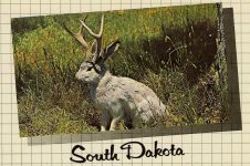 The Fabulous JACKALOPE of North America Jackalopes are the rarest animals in North America. A cross between a now extinct small deer and a species of rabbit, they are extremely shy and wild. They possess the ability to mimic and their cries often sound human and tuneful. Probably from hearing cowboy songs on the lonely nite watch. None have ever been captured alive and this is a rare photo taken at their feeding grounds in the high country. Foto Graph Dakota News Inc Sioux Falls, South Dakota 6″x4″