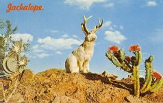 Wild Jackalope Also often called the Antelabbit, this, most amazing of all desert animals is reputed to be a cross between a Jack Rabbit and an Antelope. Rumor has it that the Jackalope sings at night in a voice that sounds almost human. Color photo by Bob Petley 48085-C, 5.5″x3.5″ Dexter Press Inc, West Nyack, New York Pub. by Petley Studios, Phoenix, ARIZ