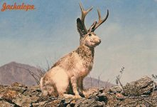 Wild Jackalope Also often called the Antelabbit, this, most amazing of all desert animals is reputed ro be a cross between a Jack Rabbit and an Antelope. Rumor has it that the Jackalope sings at night in a voice that sounds almost human. 1968 Dexter Press West Nyack, New York 6″x4″ Postmarked: Nov 13, 1970 Phoenix, AZ