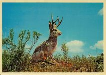 The Jackalope An Oddity of the great west, as well a fine example of western humor, especially famous in Wyoming and Colorado. Sanborn Souvenir Co Inc Commerce City, Colorado Dexter Press 6″x4″