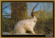 "South Dakota Gold South Dakota Jackalope ca. 1992 Unique to the ""Great American Desert"" this unusual animal is believed to be a distant cousin of the shoeshoe hare. Possessed of blinding speed, no snare has yet been devised that is fast enough to capture him. A few are taken by hunters during each open season. Dakotaland Postcards & Souvenirs Inc Mitchell, SD 6″x4″"