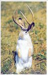 Western Jackalope ca. 1992 Among the rarest of hunter's trophies is the timid Jackalope. The nocturnal, antlered, long-eared mammal has keen senses of both hearing and smell and is said to be attracted to alcohol. To lure this fine, 4-point, male specimen to within range of his camera the photographer used a blend of bourbon, beer and baloney. Plastichrome Wall Drug Store Wall, South Dakota Printed in Ireland 3.5″x5.5″