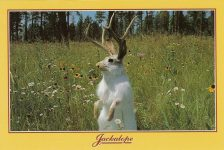 Jackalope ca. 1992 This legendary cross between a jackrabbit and antelope is unlike any other such creature. He is the source of much good humor and the subject of many tall tales. Western Souvenirs Inc Rapid City, SD 6″x4″