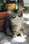 Carl Kitty aka Carlos Kitty In the backyard. One CUTE kitten. Photo: August 9, 2000