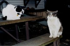 Spot and Zane Kitty Zane is a neighborhood tomcat. Photo: April 14, 2001