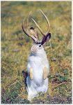 jackalopes_potpourri_jackalope postcards_Jackalope Standing PC_6JackalopeStandingPC6