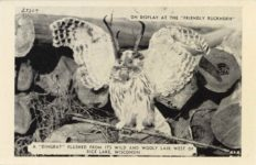 "1950 ca. ON DISPLAY AT ""THE FRIENDLY BUCKHORN"" A ""DINGBAT"" FLUSHED FROM ITS WILD AND WOLLY LAIR WEST OF RICE LAKE, WISCONSIN 27309 postcard front 1"