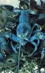 Blue lobster 1 in 50,000,000 postcard front