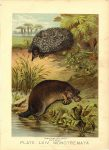 1880 PORCUPINE ANT EATER DUCK MOLE PLATE LXIV MONOTREMATA Henry J. Johnson