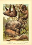 1880 SLOTH ANT EATER ARMADILLO PLATE LXI EDENTATA Henry J. Johnson