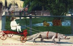 1921 2 10 Exceeding the speed limit Child wagon and harnessed alligator Los Angeles, Cal postcard front