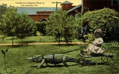 1910 ca. Child wagon and harnessed alligator California Alligator Farm Los Angeles, Cal postcard front