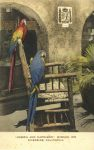 Joseph and Napoleon the parrots Mission In Riverside, CAL Hand Colored postcard front