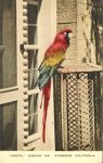 Joseph the parrot Mission In Riverside, CAL Hand Colored postcard front