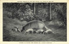 MOTHER ARMADILLO AND HER YOUNG postcard front