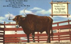 Only Texas Longhorn Steer In The Southwest postcard front