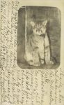 1907 9 24 CAT This lion cub taken in the Yellowstone Park RPPC vertical front