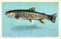 1925 ca. EASTERN BROOK TROUT Yellowstone Park postcard front
