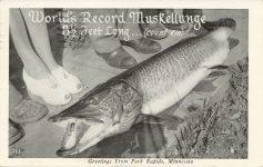 1953 4 3 Park Rapids, MINN World's Record Muskellunge 163 postcard front