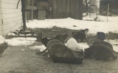 1910 ca. CATS Farm cats eating RPPC front