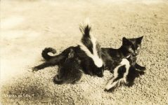 1934 7 7 Skunks and Cats 3 RPPC front