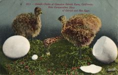 1910 ca. Ostrich Chicks at Cawston Ostrich Farm, CAL 2411 postcard front