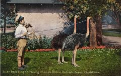 1910 ca. Cawston Ostrich Farm, CAL Breaking the Young Ones postcard front