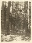 1915 ca. Standing timber Roleff photo 6.5″×8.5″